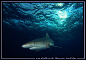 Reef shark Tiger Beach.... :O)...